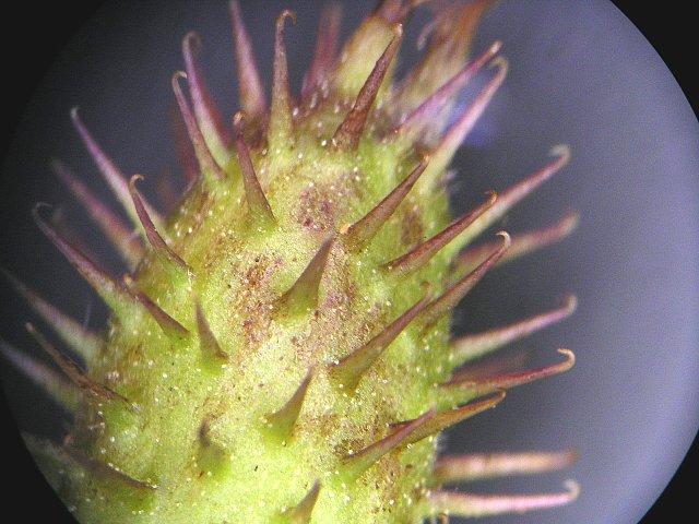 オナモミの画像 p1_25